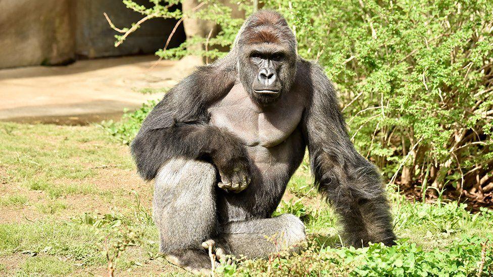 Фотография Harambe была сделана в первый день его выставки в зоопарке Цинциннати.